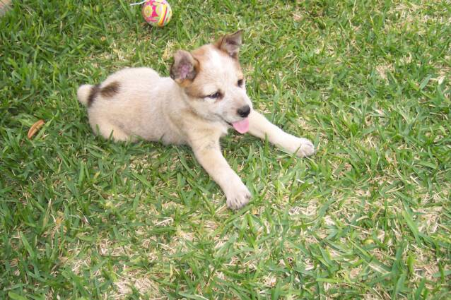 puppies - heelers - texas cattle dogs - breeders