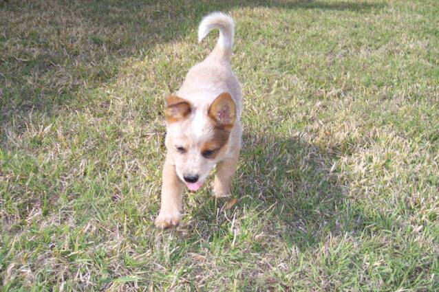 stud - cattle dog - heelers - puppies - for sale -
