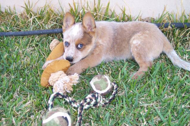 milk bone - chew toys - heelers - active - companion -