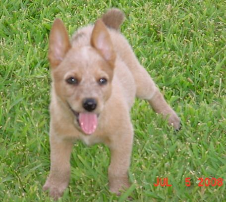puppies - dog breeds - red