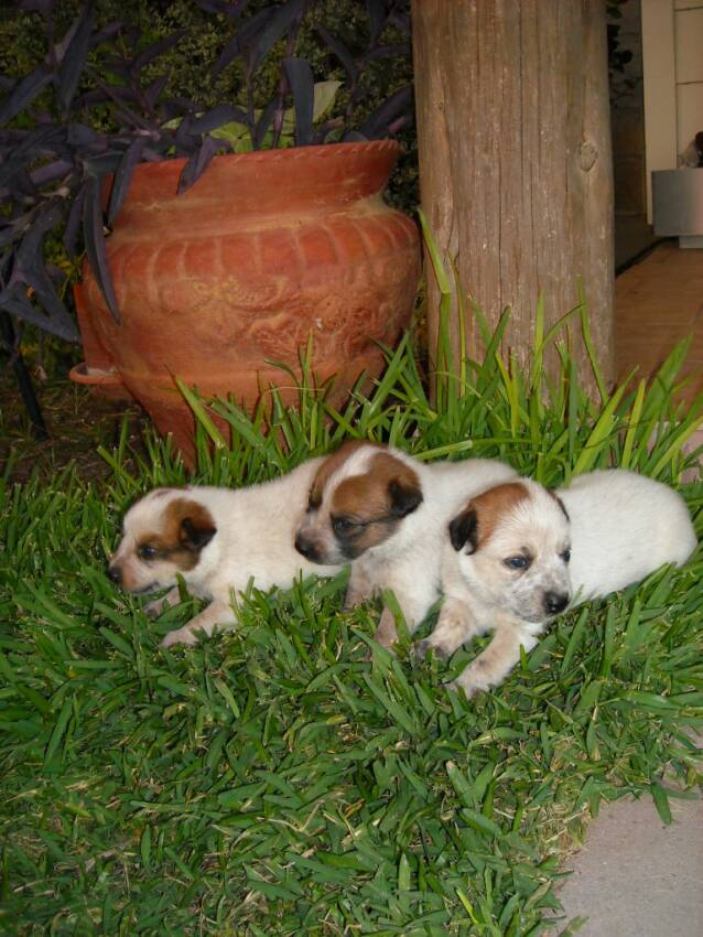 good looking - three - puppies - grass - cedar posts
