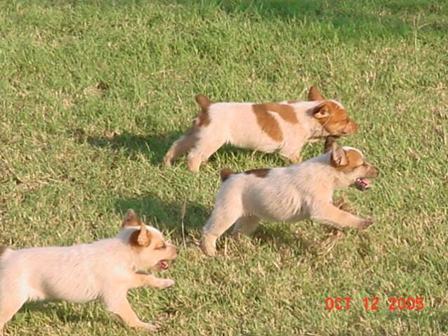 puppies - running - cute puppies