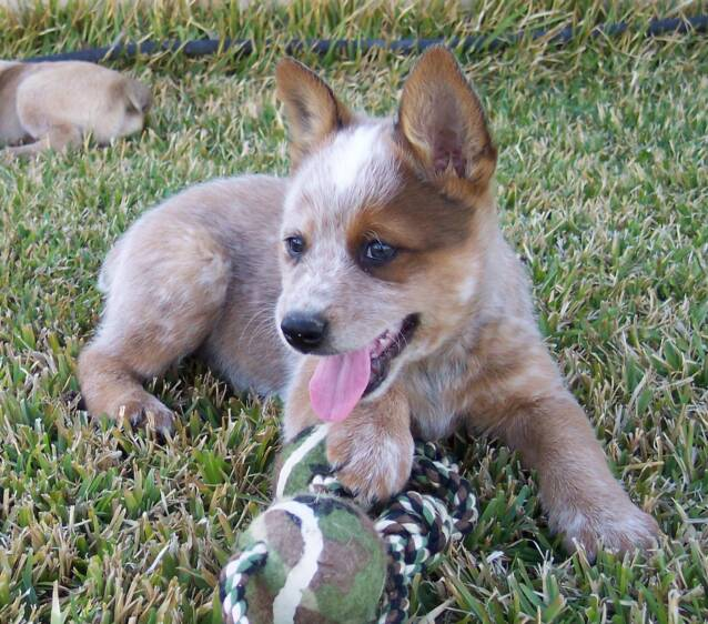 adorable puppies - red - coat - mask - heelers - toy
