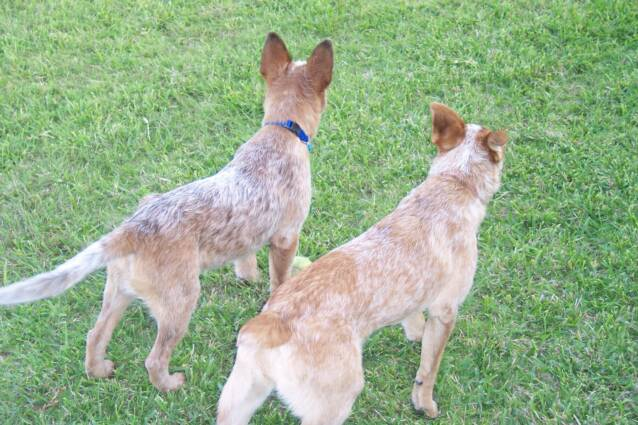 Blue Heelers For Sale : Saddle tramp red heelers home